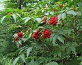Sambucus racemosa PID1799-1.jpg