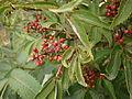 Sambucus racemosa fruits.jpg