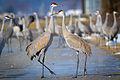 Sandhill Cranes (Grus canadensis) (16757875775).jpg