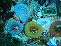 Sandy anemones at Midderlmas PA208672.JPG
