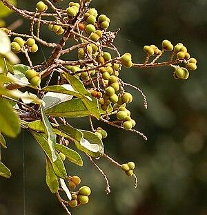 Sapindus - Sapindus emarginatus drupes in Hyderabad, India