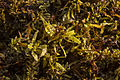 Sargasso seaweed detail.jpg