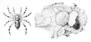 Barychelidae Spider family