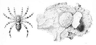 Barychelidae - Sason robustum with nest