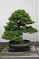 Satsuki Azalea (Rhododendron) Korin (3505588642).jpg