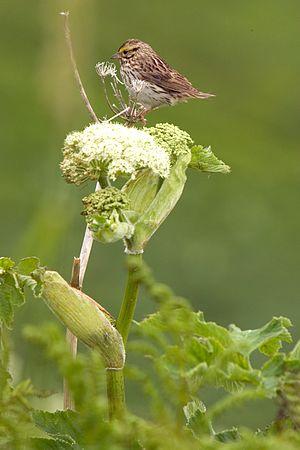 Savannah sparrow - Image: Savannah Sparrow