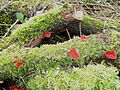 Scarlet elf caps on dead logs, Lancaut.jpg
