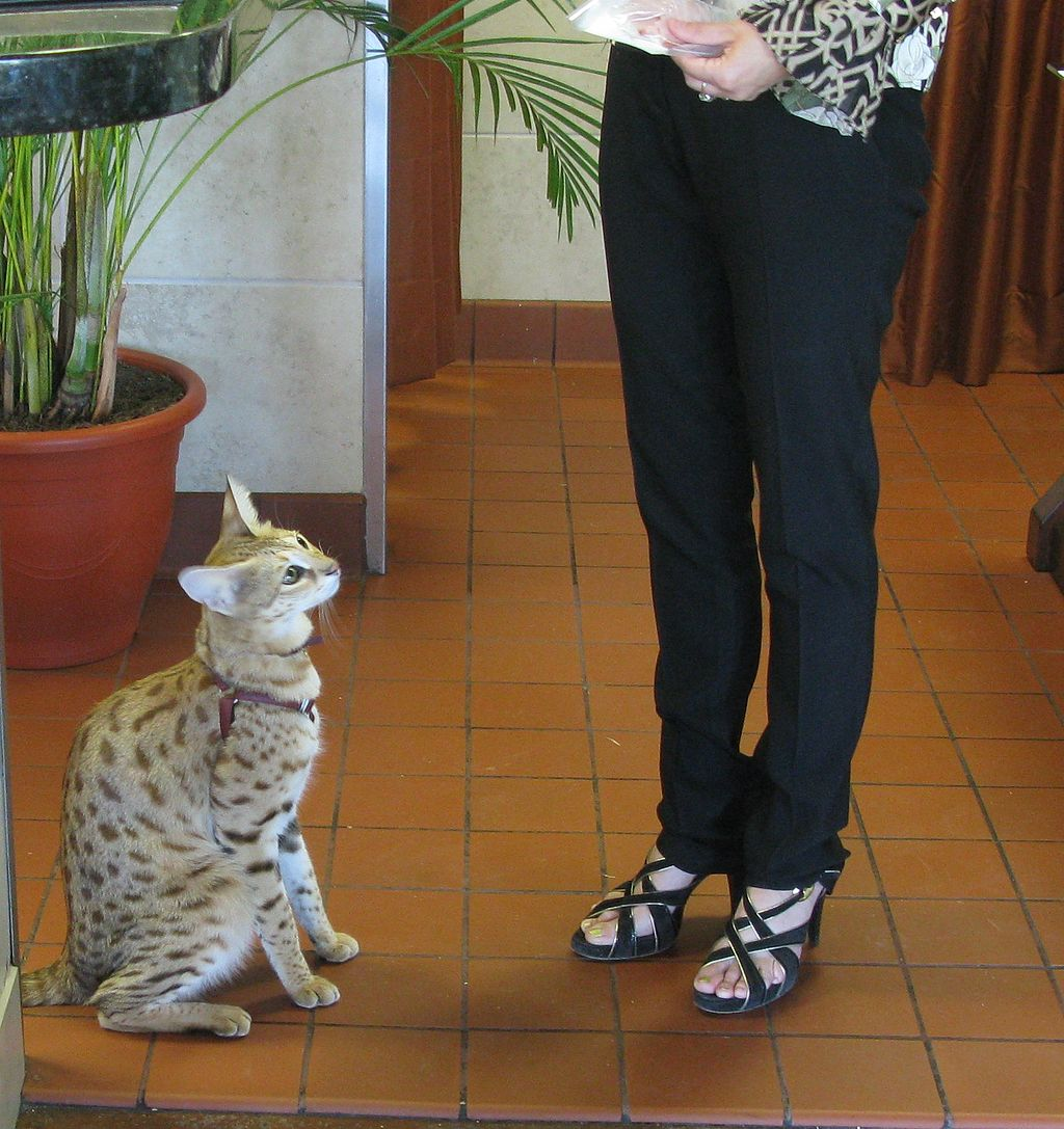 Scarlett's Magic, a Savannah Cat
