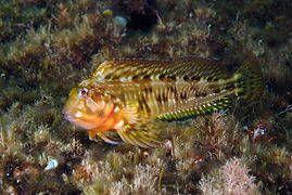 Combtooth blenny swimming