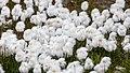 Scheuchzer's cotton grass (Eriophorum scheuchzeri) in the tundra of Svalbard.jpg