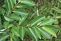 Schiermonnikoog - Amerikaanse vogelkers (Prunus serotina) v2.jpg