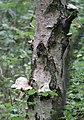 Schiermonnikoog - Berkenzwam (Piptoporus betulinus) v2.jpg