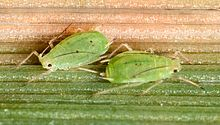 Schizaphis graminum oat usda (cropped).jpg