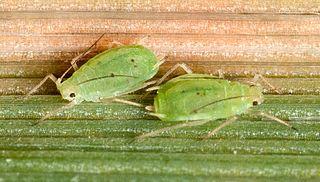 <i>Schizaphis graminum</i> species of insect