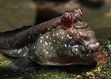 Closeup Of Beautiful Mudskipper Fish Stock Photo, Picture And ...