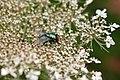 Schmeißfliege (Calliphoridae) (03) (28940056146).jpg