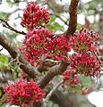 Schotia brachypetala flowers.jpg