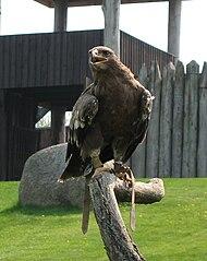 Orol krikľavý (lat. Aquila pomarina)