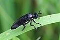 Schwarze Habichtsfliege Dioctria atricapilla male 2703.jpg