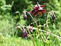 Schwarzviolette Akelei (Aquilegia atrata) 01.jpg