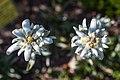 Schynige Platte Botanischer Alpengarten - Edelweiss (Leontopodium alpinum) (10955660243).jpg