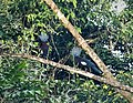 Sclater's Crowned Pigeon Goura sclaterii (48750098312).jpg