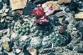 Sclerocactus wetlandicus ssp ilseae fh 0701 UT BB.jpg
