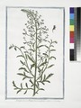 Scrophularia Ruta Canina dicta, vulgaris. (Figwort) (NYPL b14444147-1125120).tiff