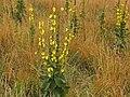Scrophulariaceae - Verbascum thapsus (8304663110).jpg