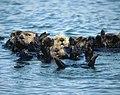 Sea Otter (6383864515).jpg