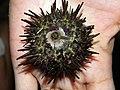 Sea urchin (3767528227).jpg
