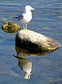 Seagull Lake Michigan Wisconsin.JPG
