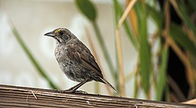 Seaside sparrow (28959673707).jpg