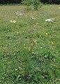Selinum carvifolia kz09.jpg