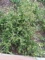 Senecio vulgaris 105328150.jpg