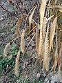 Setaria italica subsp. italica sl13.jpg