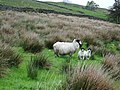 Sheep - geograph.org.uk - 436728.jpg