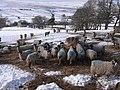 Sheep at High Windy Hall. - geograph.org.uk - 1158485.jpg