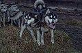 Siberian Husky 03(js), Nome (Alaska).jpg