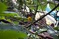 Sicalis flaveola 0zz.jpg