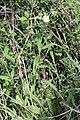Silene latifolia 9637.JPG