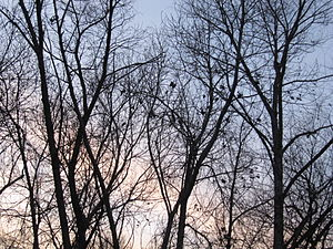 Trees of Mission Trails silhouetted at sunset....