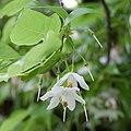 Sinojackia xylocarpa fleurs2.jpg
