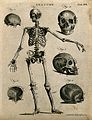 Skeleton with left arm extended, front view, and skull bones Wellcome V0008029ER.jpg