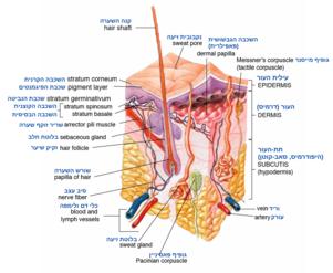 אנטומיה של שכבות העור