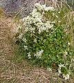 Skjørbuksurt (Cochlearia officinalis) 01.jpg