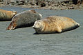 Sleeping Harbor seals (Phoca vitulina).jpg