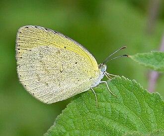 Eurema brigitta - Image: Small Grass Yellow (Eurema brigitta) in Hyderabad, AP W IMG 0313
