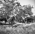 Snopi pšenice se sušijo na drevju, ki raste na njivi, Čentur 1950.jpg