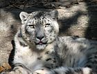 Snow Leopard at Louisville Zoo.jpg